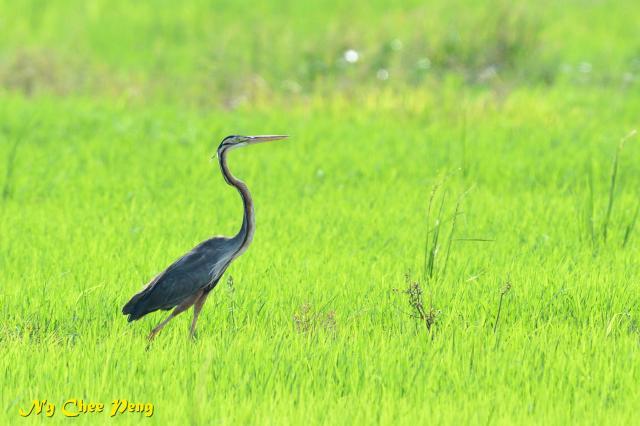 image 7408 of Purple Heron