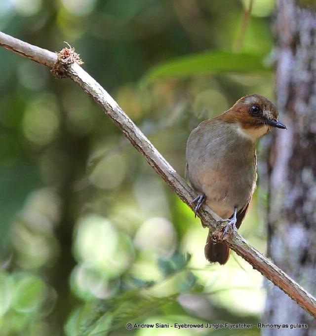 image 3238 of Eye-browed Jungle Flycatcher