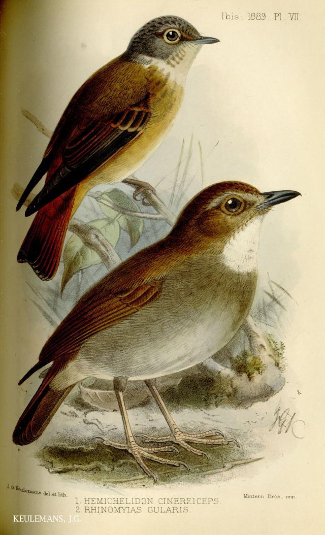 image 3688 of Eye-browed Jungle Flycatcher