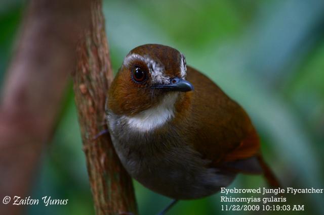 image 3602 of Eye-browed Jungle Flycatcher