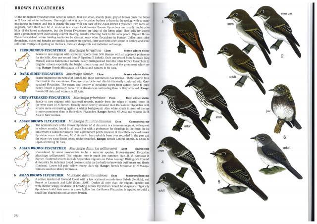 image 3096 of Grey-streaked Flycatcher