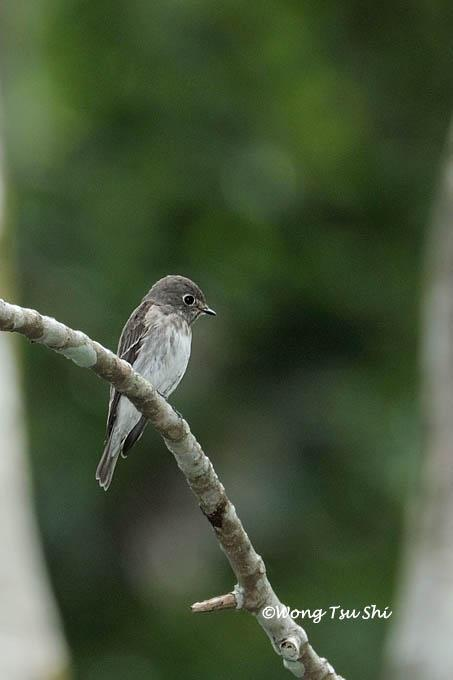 image 972 of Asian Brown Flycatcher