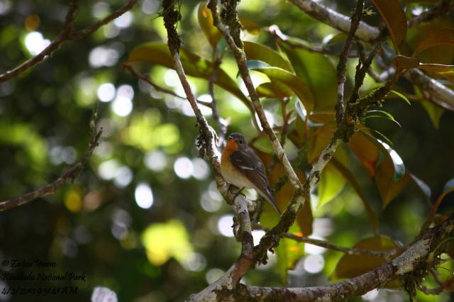image 3605 of Mugimaki Flycatcher