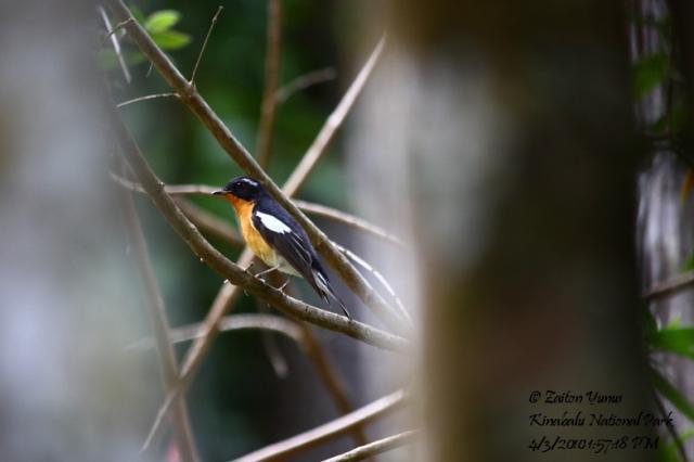 image 3609 of Mugimaki Flycatcher