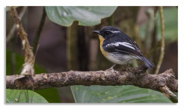 image 7468 of Rufous-chested Flycatcher