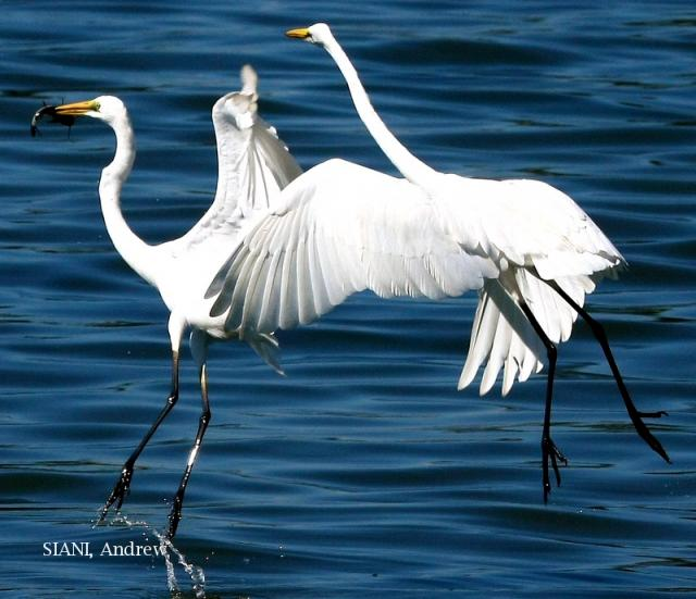 image 2946 of Great Egret