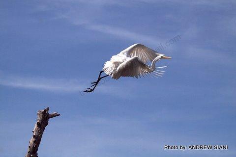 image 2943 of Great Egret