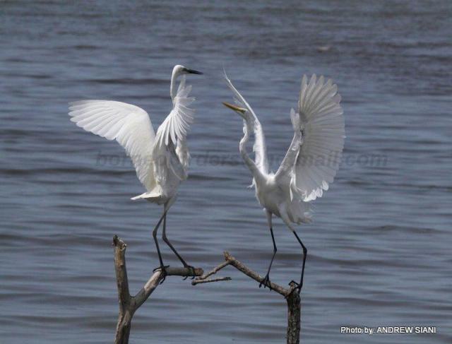 image 6097 of Great Egret