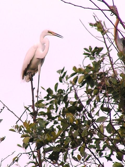 image 1522 of Great Egret