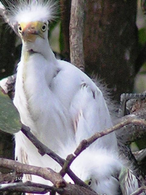 image 1519 of Great Egret