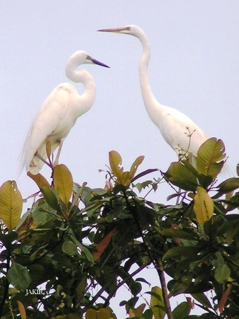 image 1521 of Great Egret