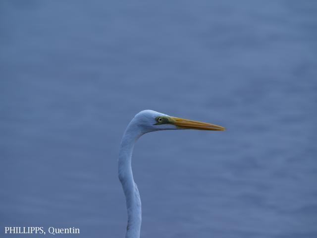 image 1450 of Great Egret