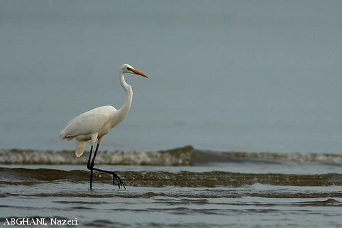 image 4484 of Great Egret