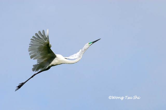 image 375 of Great Egret