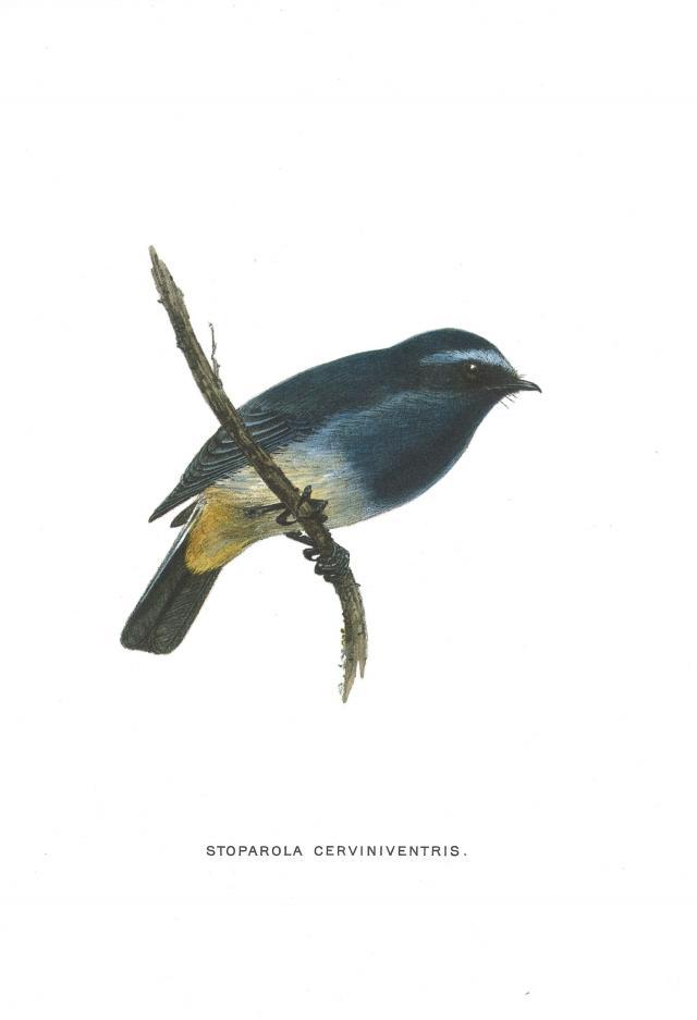 image 3690 of Indigo Flycatcher