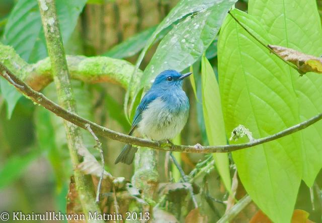 image 6823 of Pale Blue Flycatcher