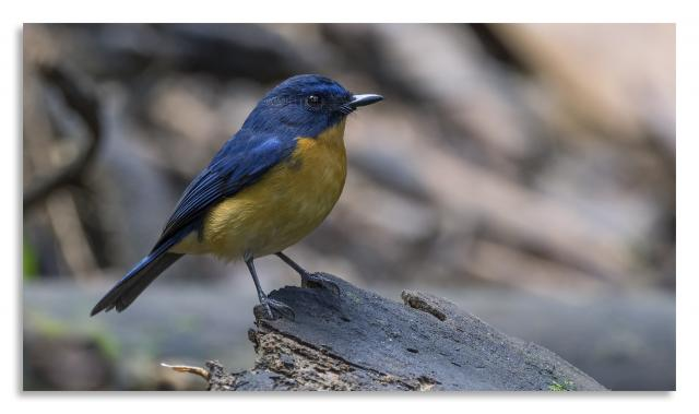 image 7466 of Hill Blue Flycatcher