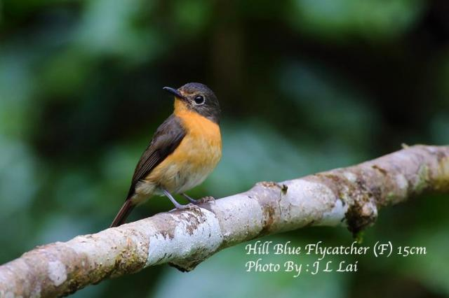 image 6841 of Hill Blue Flycatcher