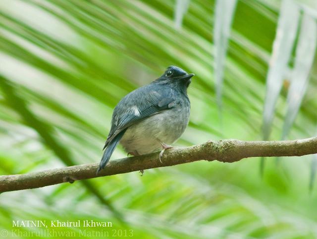image 6835 of Dark Blue Flycatcher