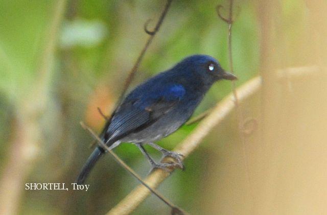image 3620 of Dark Blue Flycatcher