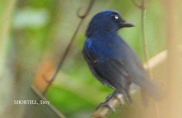 image 3621 of Dark Blue Flycatcher