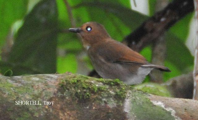 image 3618 of Dark Blue Flycatcher