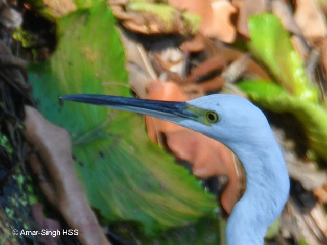 image 8126 of Little Egret