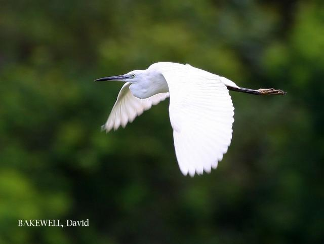 image 4045 of Little Egret