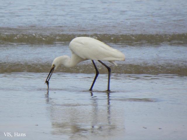image 5739 of Little Egret