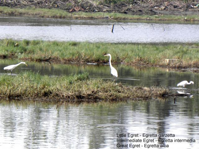 image 5720 of Little Egret