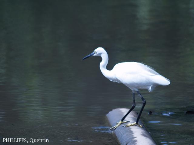 image 1833 of Little Egret