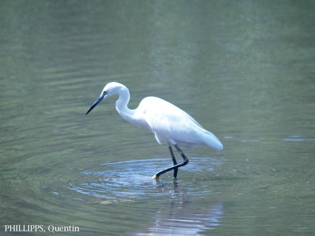 image 1834 of Little Egret
