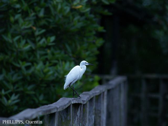 image 1452 of Little Egret