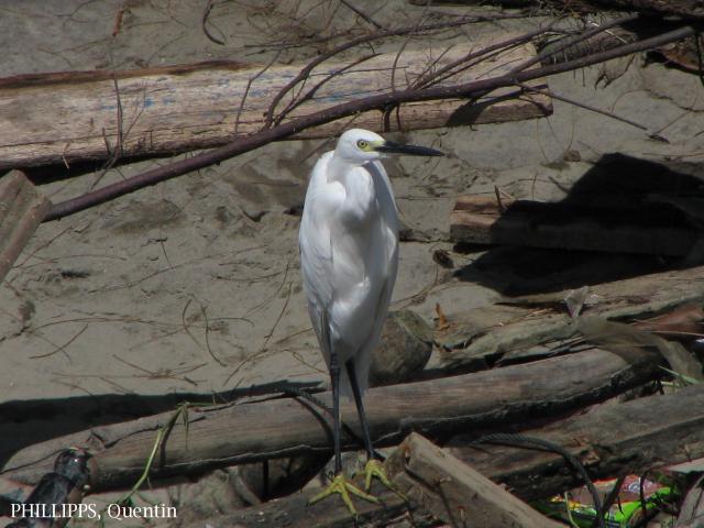 image 1453 of Little Egret