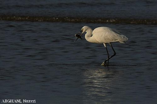 image 4495 of Little Egret