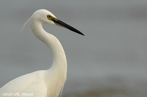 image 4487 of Little Egret
