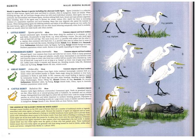 image 2404 of Little Egret