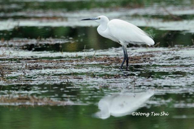 image 818 of Little Egret