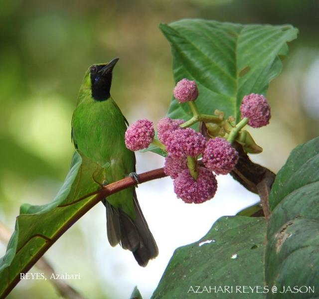 image 6093 of Greater Green Leafbird