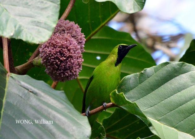 image 7495 of Greater Green Leafbird