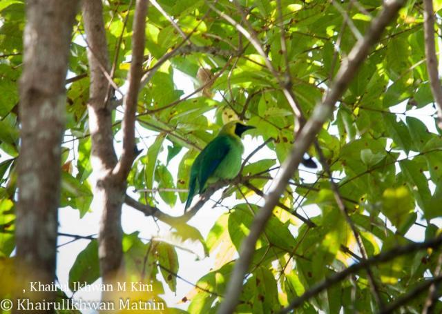 image 6777 of Blue-winged Leafbird