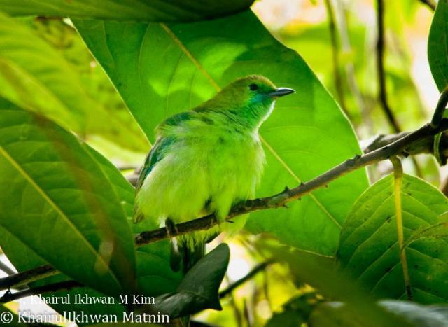 image 6776 of Blue-winged Leafbird