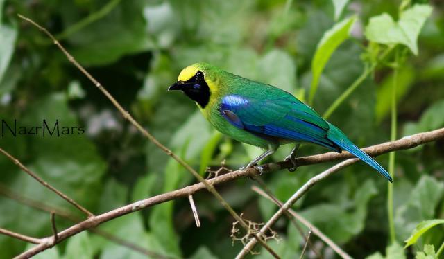image 8296 of Blue-winged Leafbird