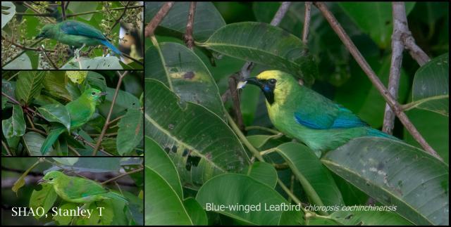 image 8324 of Blue-winged Leafbird