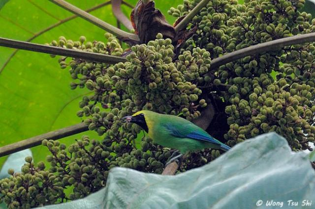 image 7123 of Blue-winged Leafbird