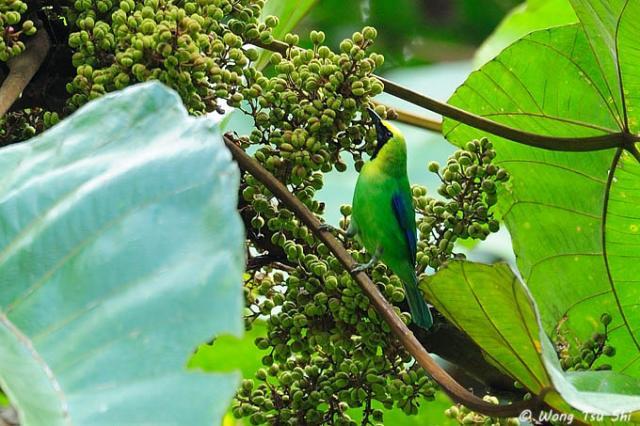 image 7124 of Blue-winged Leafbird