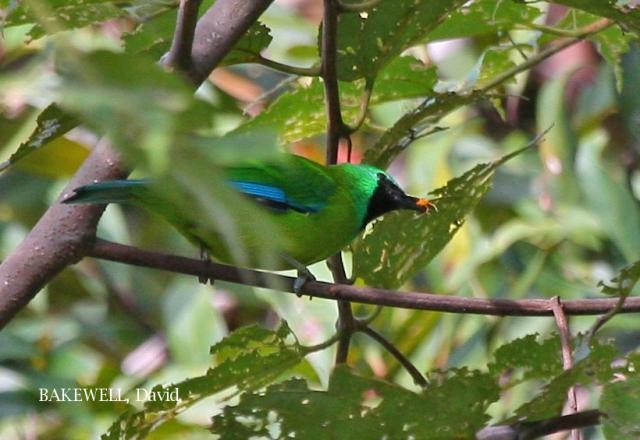 image 4306 of Bornean Leafbird