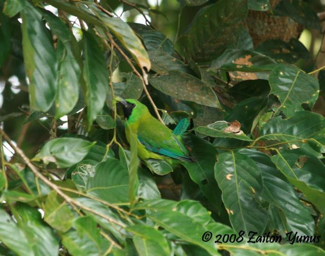 image 3612 of Bornean Leafbird