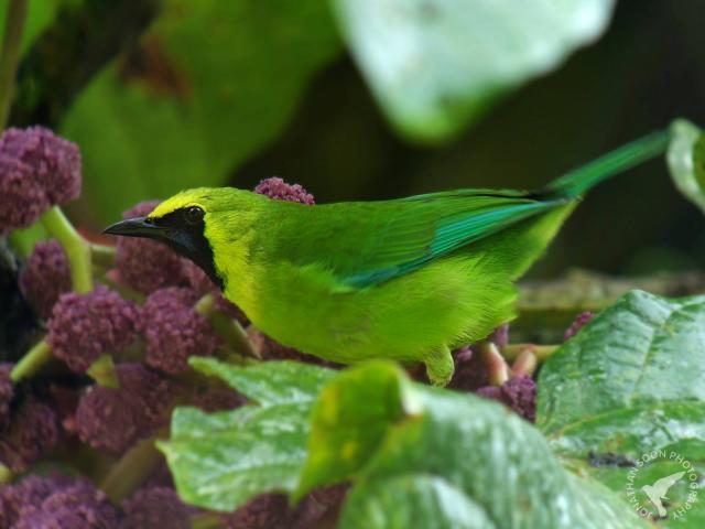 image 6870 of Bornean Leafbird