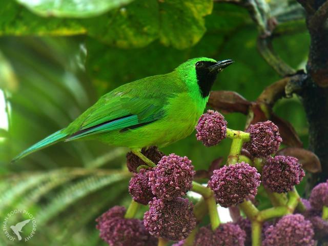 image 6869 of Bornean Leafbird